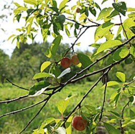 More than 600 apple varieties grow at the Pavlovsk Experimental Station.