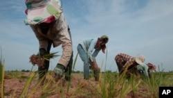 Petani menanam padi di musim kemarau di pinggiran kota Phnom Penh, Kamboja (Foto: dok).