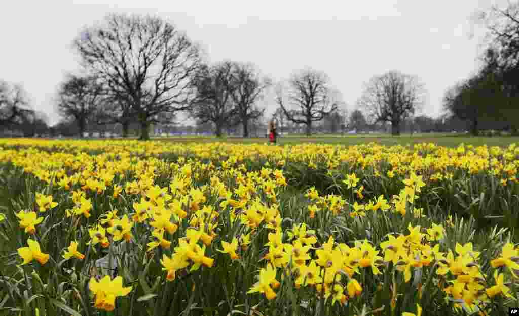 Bunga-bunga bakung (daffodil) bermekaran di taman kota London.