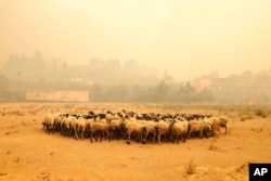 Sheep gather during a wildfire near Limni village on the island of Evia, about 160 kilometers (100 miles) north of Athens, Greece, Aug. 4, 2021.