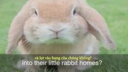 Thành ngữ tiếng Anh thông dụng: To Fall down the Rabbit Hole (VOA)