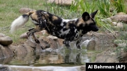 An African painted dog plays in the water at the Cincinnati Zoo in Ohio. (AP Photo/Al Behrman)