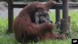 In this image made from video, an adult male orangutan smokes a cigarette in its enclosure at Bandung Zoo in Bandung, West Java, Indonesia, Sunday, March 4, 2018. (AP Photo)