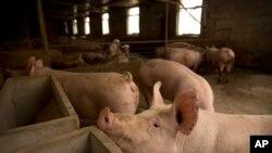 China Pig Plague