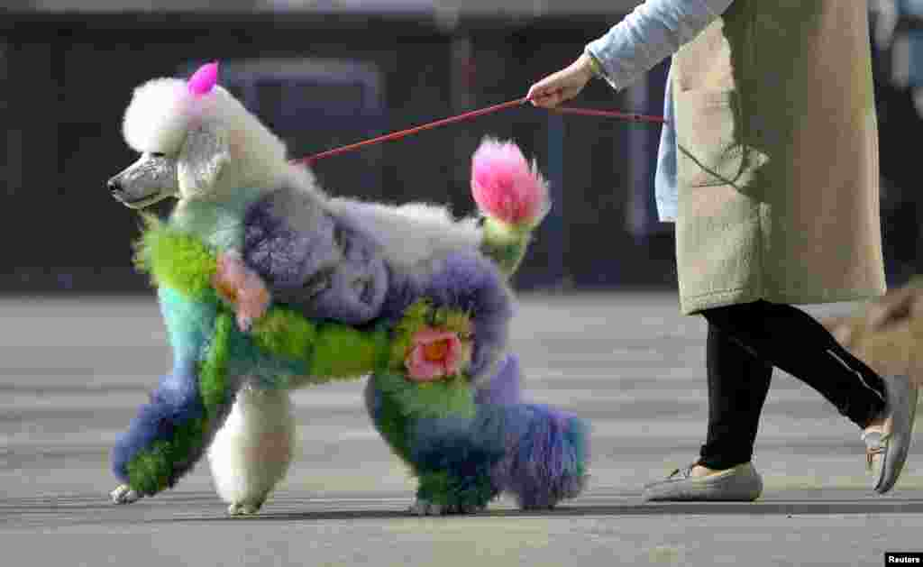 A woman walks a dog with styled and dyed fur on a street in Shenyang, Liaoning province, China.