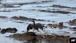 Seekor burung dengan sayap yang terkena tumpahan minyak di pantai Refugio, sebelah utara Goleta, California (21/5). (AP/Jae C. Hong)