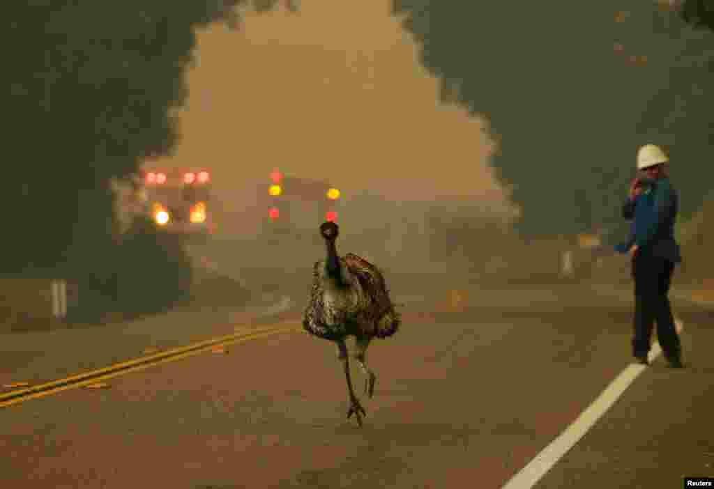 សត្វបក្សីម្យ៉ាងឈ្មោះ emu រត់នៅតាមផ្លូវដើម្បីរត់គេចពីភ្លើងឆេះព្រៃ ដែលឆេះនៅក្បែរតំបន់ Potrero រដ្ឋ California កាលពីថ្ងៃទី២០ ខែមិថុនា ឆ្នាំ២០១៦។