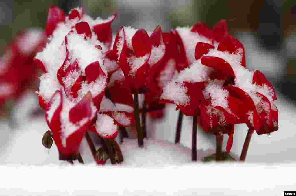 Flowers are covered with snow in Tokyo. The Japan Meteorological Agency said wide areas of Japan will be hit by snowfall, with a rapidly developing low-pressure front heading northeast along the south side of the Honshu main island.