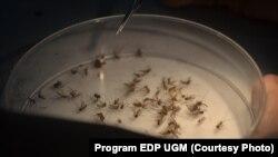 Nyamuk dalam program Penelitian di Insectarium Pusat Kedokteran Tropis UGM (Foto: Program EDP UGM)