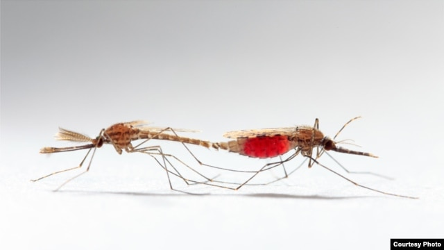 Mating of some disease-carrying mosquitoes would not result in births if scientists can disable the male's mating plug. (University College London/Sam Cotton)