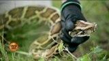 فلوریڈا میں سانپ پکڑنے کا مقابلہ