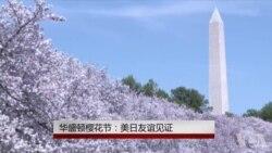 华盛顿樱花节:美日友好象征