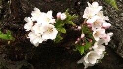 Цветущие вишни в Мэриленде
