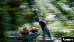 FILE - An Indonesian worker pushes a cart of palm oil fruits at Felda Bukit Cerakah in the district of Klang, outside Kuala Lumpur, Apr. 16, 2014.
