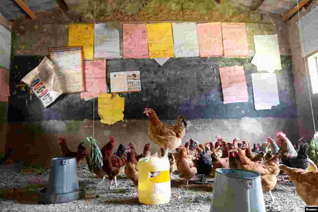 Chickens are seen in a classroom that was turned into a poultry house because of COVID-19 in the town of Wang'uru, Kenya.