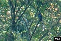 树上的蓝鹊