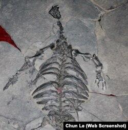 جنوبی مغربی چین میں 22 کروڑ 80 لاکھ سال پہلے پائے جانے والے کچھوئے کا ڈھانچہ