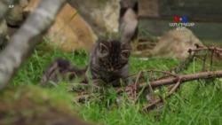 Շոտլանդական վայրի կատվին ոչնչացումից կարող են փրկել երկու նորածինները