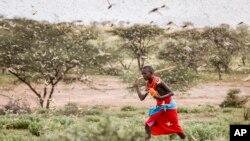 Umuyabaga w'umuhungu w'i Samburu muri Kenya ariko yirukana inzige kw'itariki 16/01/2020.