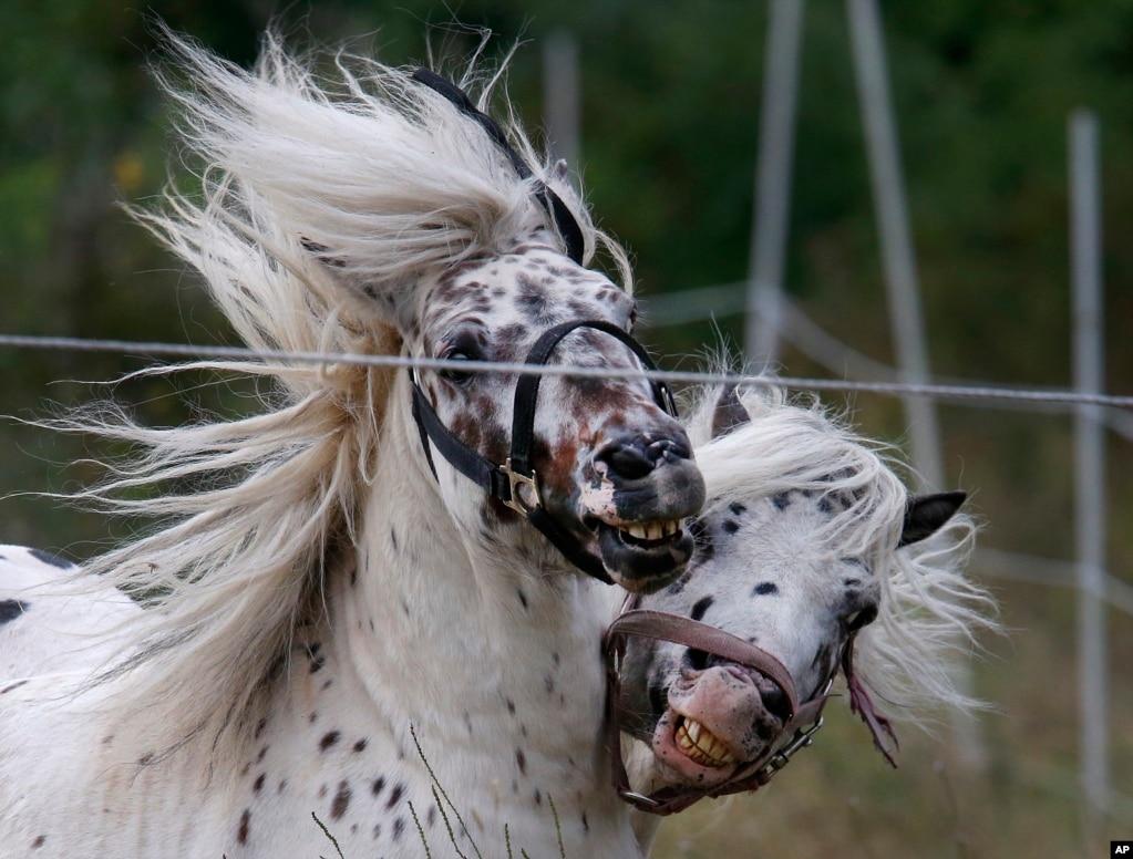 독일 프랑크푸르트 방목장에서 놀고 있는 말들.