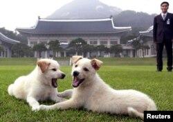 Cặp chó Jindo con trong phủ tổng thống Hàn Quốc.