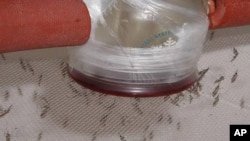 Adult mosquitoes feeding on human blood containing malaria parasite.