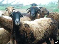 Haigh farms with unique Zulu sheep, indigenous to South Africa's KwaZulu-Natal province and highly resistant to local diseases