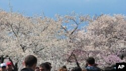 ชาวกรุงวอชิงตันร่วมสร้างบรรยากาศประดับประดาสีชมพูให้เข้าบรรยากาศนครสีชมพูในเทศกาลCherry Blossomหรือดอกซากุระบานที่กรุงวอชิงตัน