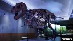 یک دایناسور «تیرانوسوروس» به نام «سو» یکی از مشهورترین و محبوب ترین دایناسورهای گوشتخوار جهان - موزه فیلد شیکاگو، ایلینوی - ۱۸ دسامبر ۲۰۱۸