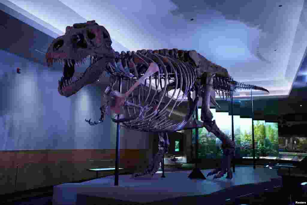 عکسی از اسکلت بازسازی شده دایناسور گوشتخواری به نام «تیرانوسوروس» که به لاتین یعنی «مارمولک ستمگر». او معروف ترین و ترسناک ترین دایناسور است.