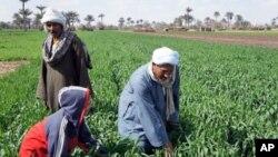 The Nile has allowed agriculture to flourish for millenia, but a farmer's life remains hard, near Kafr Torky, Egypt, February 13, 2011