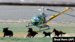 FILE - In this July 13, 2008, file photo, a livestock helicopter pilot rounds up wild horses from the Fox & Lake Herd Management Area in Washoe County, Nev., near the town on Empire, Nev. (AP Photo/Brad Horn, File)
