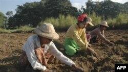 Nông dân Miến Ðiện làm việc tại một nông trại gần Mandalay
