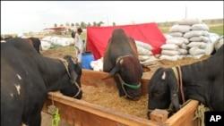 کراچی کی مویشی منڈی میں قربانی کے جانوروں کی آمد شروع