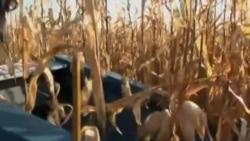 研究人员寻找自然有机方法除杂草