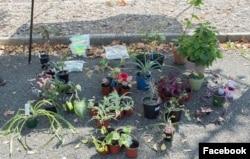 DC Plant Swap 9 September 2020 @fonarboretum (Facebook events by Washington Gardener Magazine)