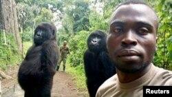 Mathieu Shamavu, jagawana Virunga dan pengurus Pusat Perawatan Gorila Gunung Senkwekwe berswafoto dengan dua gorila dari Taman Nasional Virunga di Republik Demokratik Kongo, 18 April 2019.(Foto: Mathieu Shamavu untuk www.virunga.org via Reuters)