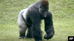 FILE - Mrithi, a 20-year-old male western lowland gorilla.