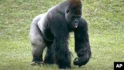 Khỉ gorilla ở vùng đất thấp cũng là nạn nhân của vi rút Ebola.