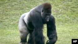 La fièvre à virus Ebola frappe également les gorilles (AP)