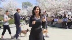 جشنواره سالانه شکوفه گیلاس