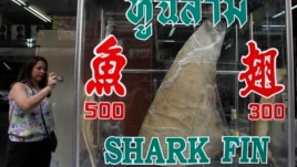 A woman takes a photograph of a dried shark fin on display at a restaurant in Bangkok, host city of the CITES meeting, March 5, 2013.