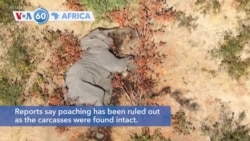 VOA60 Africa - Botswana is investigating the deaths of hundreds of elephants