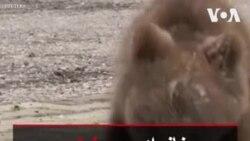 خانواده بوسنیایی سرپرستی توله خرس یتیم را بر عهده گرفت