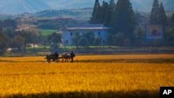 지난 2011년 10월 가을 걷이를 앞둔 북한 강원도 원산의 한 협동 농장. (자료사진)