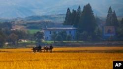 지난 2011년 10월 가을 걷이를 앞둔 북한 강원도 원산의 협동 농장. (자료사진)