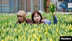 Employées récoltant des tulipes pour la Journée mondiale de la femme à Krasnoïarsk, en Russie, le 26 février 2016.