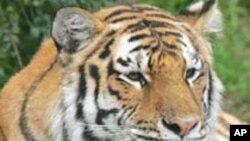 2022 تک ایشیا میں شیروں کی آبادی کو دوگنا کردینے کا منصوبہ