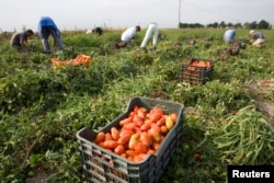 FILE - Farm workers pick tomatoes in the countryside near the town of Foggia, southern Italy.