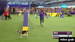 Mia the beagle gets distracted by the audience